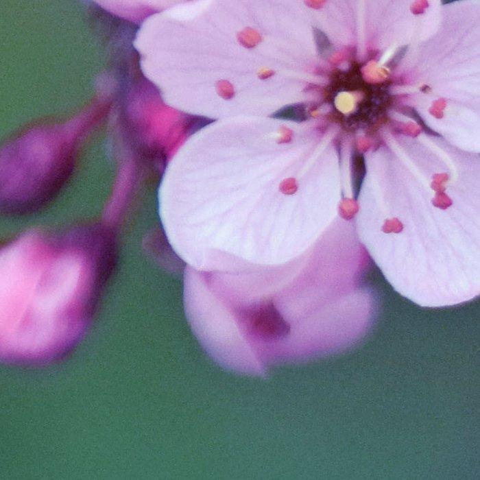 Dreamy purple Cherry Blossom Leggings