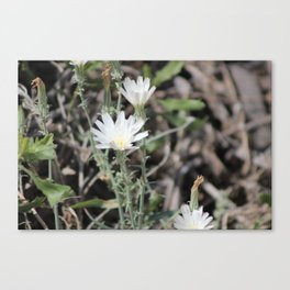 Desert Chicory Coachella Wildlife Preserve 2 Canvas Print