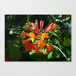 Orange Flowers of Woodbine HoneySuckle Canvas Print