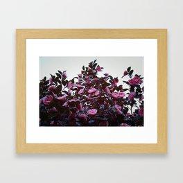 Bountiful Camelias Framed Art Print