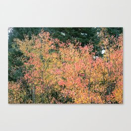 Aspen Tree Canvas Print