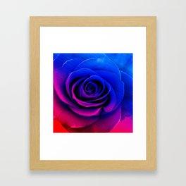 Blue and pink rose Framed Art Print