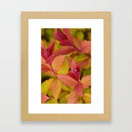 Orange Flame Spirea Framed Art Print