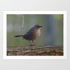 Gray Catbird near Sunrise Art Print