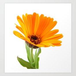 Marigold - Calendula Officinalis Isolated On White Background Art Print