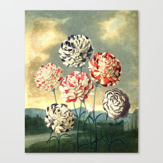 Carnations : New Illustration Of The Sexual System Canvas Print
