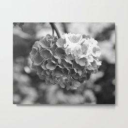 Hydrangea in Bloom Metal Print