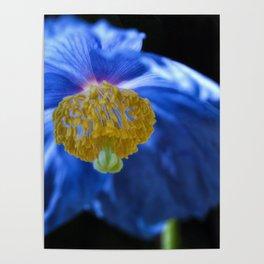 Blue Himalayan Poster