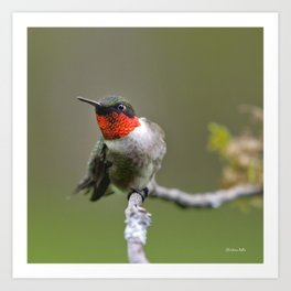 Hummingbird XII Art Print