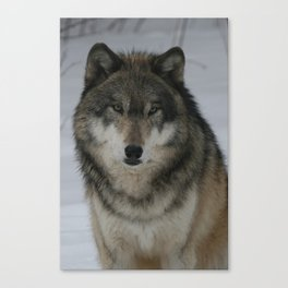 Tundra Wolf Canvas Print