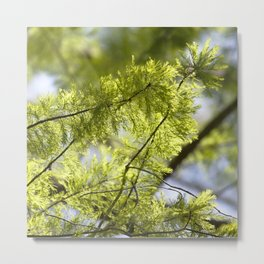 Watercolor Tree, Part, Bald Cypress 01, Trap Pond State Park, Delaware Metal Print