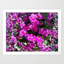 Primrose purple flower Art Print