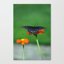 Black Swallowtail Butterfly on Mexican Sunflower Canvas Print