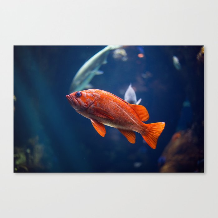 Red fish water Canvas Print