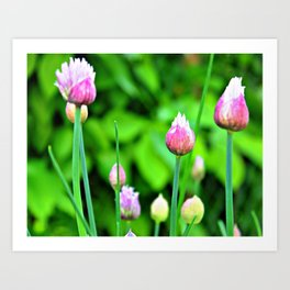 Flowering Chives Art Print