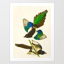 Magpie Vintage Scientific Bird Illustration Art Print