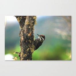 Striped woodpecker looking for breakfast Canvas Print