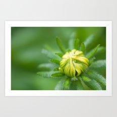 Tiny Budding Rudbeckia (Sunflower) Art Print
