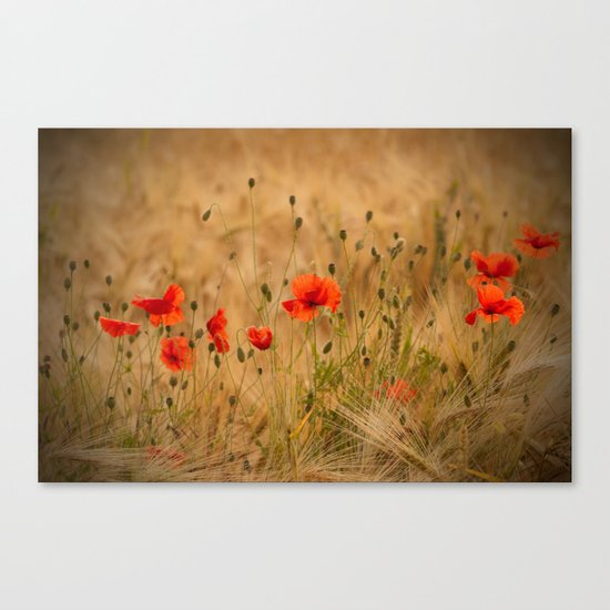 Golden cornfield with poppies Canvas Print