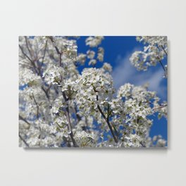 Bradford Pear Blooms Metal Print