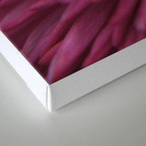 pink bellis on black -1- Canvas Print