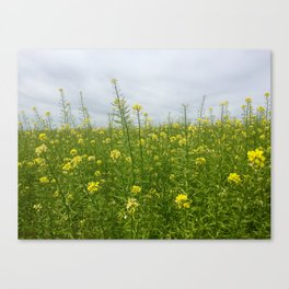 Field of Green and Gold Canvas Print