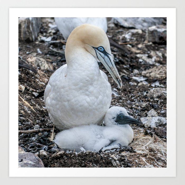 Gannet and Chick Art Print