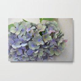 Blue Hydrangea flower starting to wilt. Metal Print