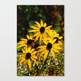 Backed Eyed Susan In Autumn Canvas Print