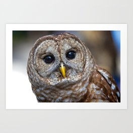 Portrait of a barred owl Art Print