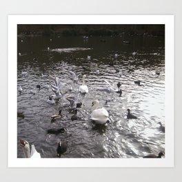 Swans 2 Art Print