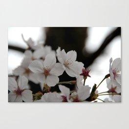 Sakura blossoms up close Canvas Print