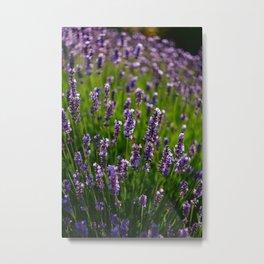Lavender Metal Print