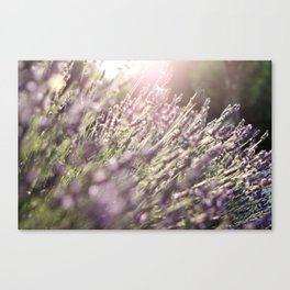 Lavender blossoms in France during late summer Canvas Print