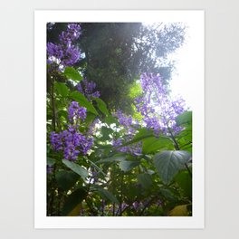 Salvia 'Amistad' (Friendship Sage) Art Print