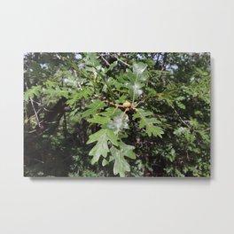Acorns on an Oak Tree Metal Print