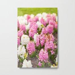 Hyacinthus pink white flowering Metal Print