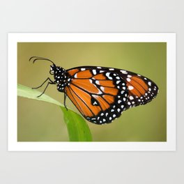 Danaus gillipus Art Print