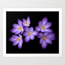 Purple Crocus Art Print