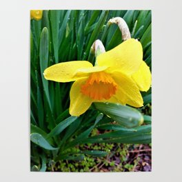 Natures Tears Of Joy On The Daffodil Poster