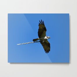 Osprey with Branch Metal Print