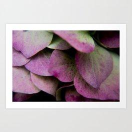 pink hydrangea I Art Print