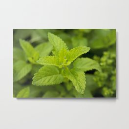 Mint Leaves - Original Botanical Nature Photography - Flora Art  Metal Print