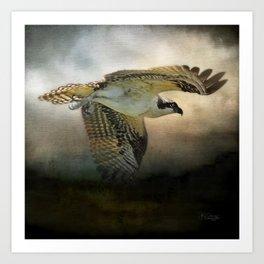 Osprey Soaring Art Print