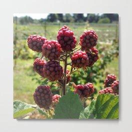Raspberry Season Metal Print
