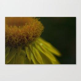 Like a Daffodil Canvas Print