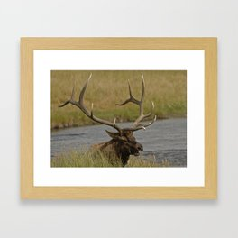Bull elk with very large antlers Framed Art Print