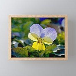 Pansy Perfection Framed Mini Art Print