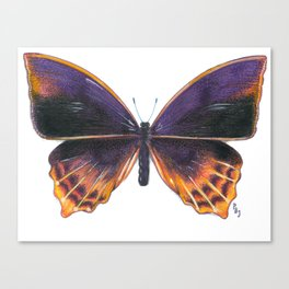 Nymphalidae Alurgis, New Guinea Canvas Print