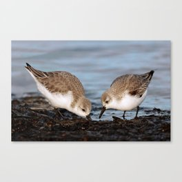 A Pair of Sanderlings Shares: A Meal is Better When Eaten Together Canvas Print